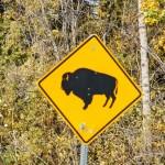 l'unico bisonte che ho incontrato...