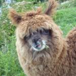 alpaca sull'isla del sol