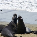 Elefanti marini - big sur - California