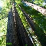redwood - big sur