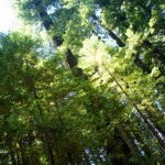sequoie altissimise nel humbolt redwood state park