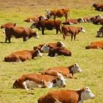 mucche lungo la costa