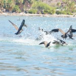 Pellicani al lavoro-playa el coyote-baja california - mexico