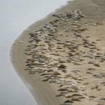 Le foche nella baia di Waldport