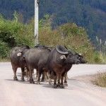 bufali lungo la strada per Phonsavan