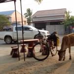 vacche randage