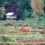 Vacche al pascolo nelle risaie asciutte