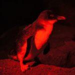 pinguini sul pontile a Melbourne