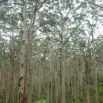 alberi enormi